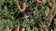 Blaukehlchen - Bluethroat - Luscinia svecica video