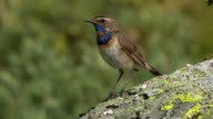 Blaukehlchen rotsternig - Bluethroat (Luscinia svecica) video