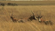 Blesbok antelope in Savannah HD video