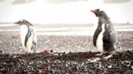 Blizzard Gentoo Penguin video