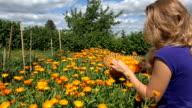 blond gardener woman harvest marigold herb flower bloom to basket video
