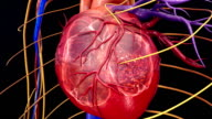 Blood Circulation in heart video