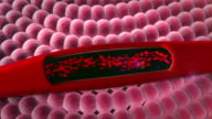 blood vessel, erythrocyte video