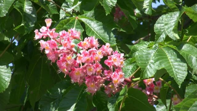 HD: bloom chestnut tree video