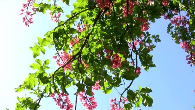bloom chestnut tree video