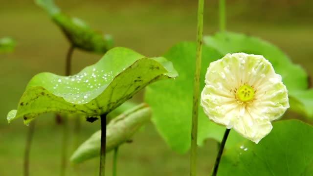 Bloom lotus video
