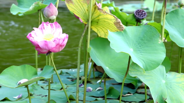Bloom pink lotus in the pond video