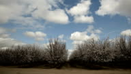 Blooming almond trees video
