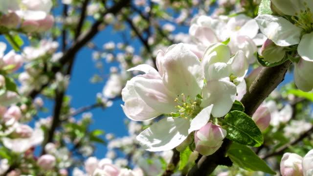 Blooming apple tree 2 video