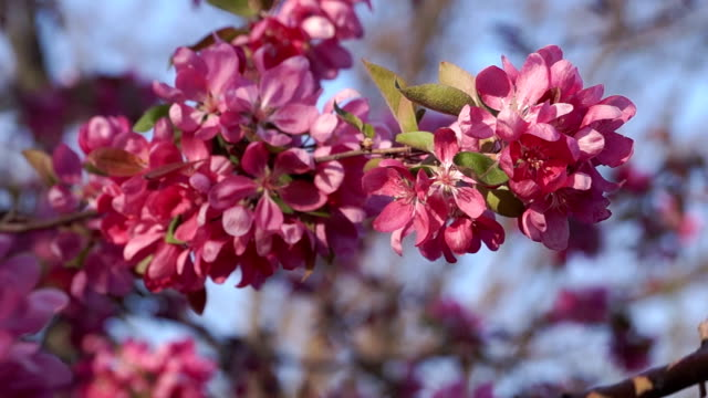 Blooming Apple Tree at Sunset video