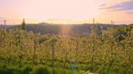 SLO MO Blooming apple tree orchard at dawn video