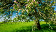 CRANE UP Blooming Apple Tree video