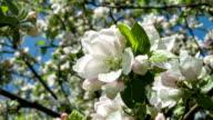 Blooming apple tree video