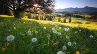 blooming apple tree, view on alps, bavaria, germany video