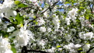 Blooming apple tree with big white flowers. video