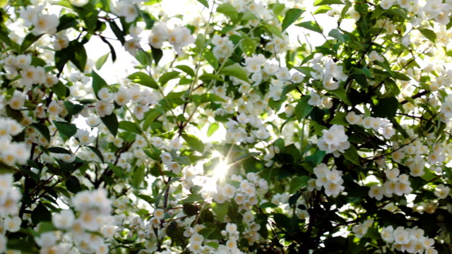 Blooming apple tree with bright sun flare video