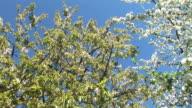 HD: Blooming apple trees video
