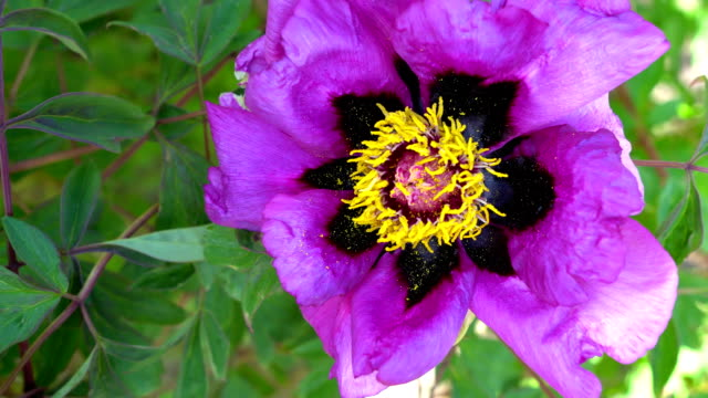 Blooming beautiful pink Peony Paeonia flower in the garden. video