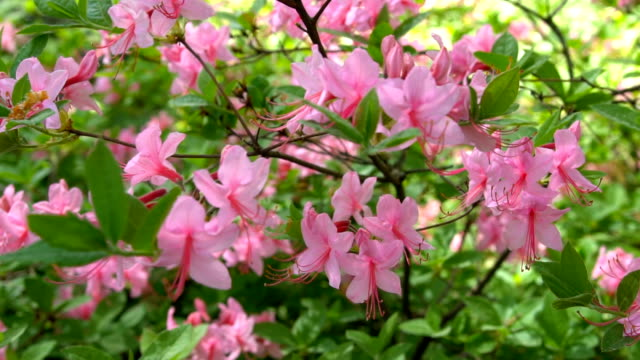 Blooming beautiful pink rhododendrons in the garden. video
