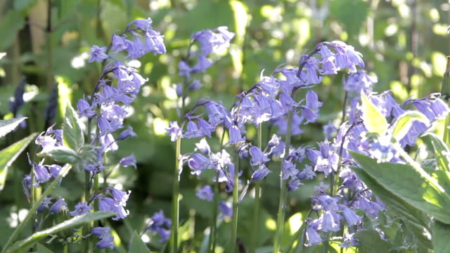 Blooming bluebell flowers gently blowing in the wind video