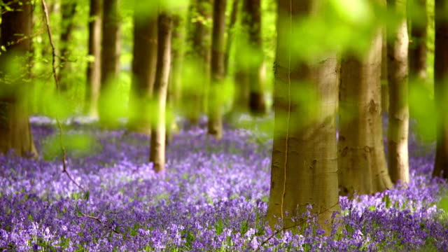 Blooming bluebell forest of Hallerbos in Belgium video