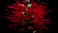 Blooming Bottlebrush Flower video