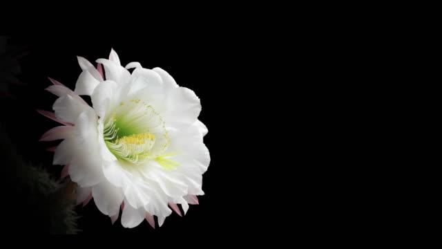 Blooming Cactus Flower - 4K video