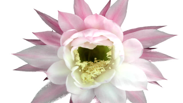 Blooming Cactus Flower video