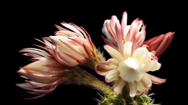 Blooming Cactus Time Lapse video