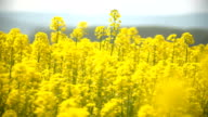 Blooming canola field. Rape on the field in summer. Bright Yellow rapeseed oil. video