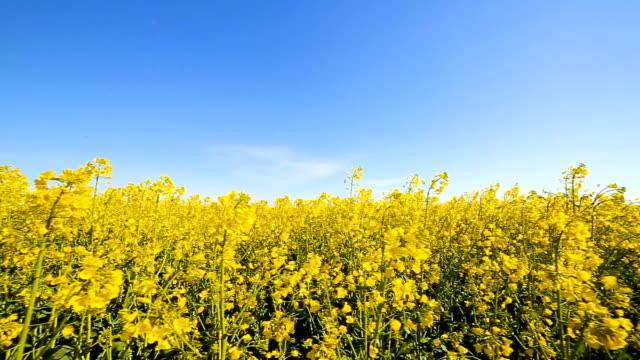 Blooming canola field. Rape on the field in summer closeup video