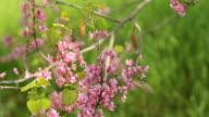 Blooming Cercis tree video