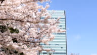 Blooming cherry blossoms and office building in sunshine. video