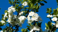 Blooming cherry branch on a blue background video