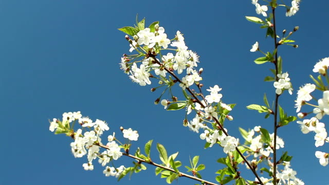 Blooming cherry orchard white flowers video