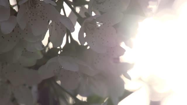 Blooming Cherry video