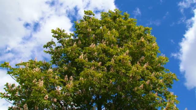 blooming chestnut tree video