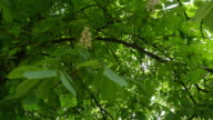 Blooming chestnut tree. video