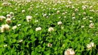 Blooming clover meadow video