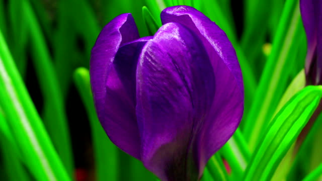 Blooming crocus time lapse video video