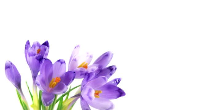 Blooming crocuses video