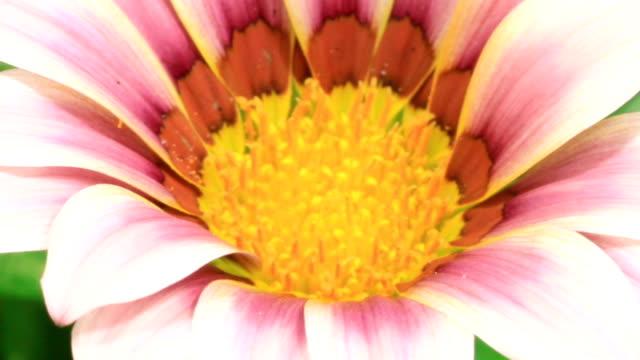 Blooming daisies video