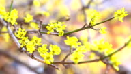 blooming dogwood branch video