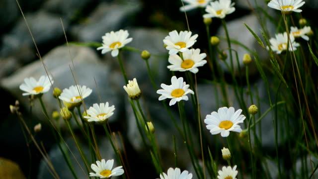 Blooming flowers daisies video