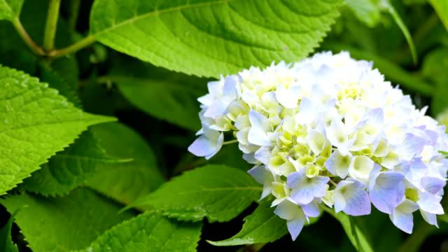 Blooming hydrangea in the garden. video