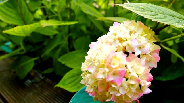 Blooming hydrangeas in the garden at the wooden floor. video