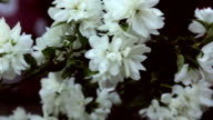 Blooming jasmine video