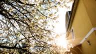 Blooming of cherry tree video