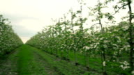 Blooming orchard. Apple Trees video