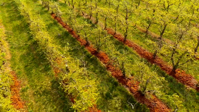 Blooming orchard ,early spring video